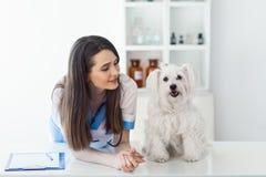 美丽的微笑的兽医医生和逗人喜爱的白色狗 图库摄影