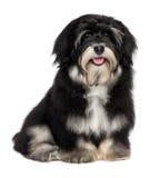 美丽的微笑的愉快的havanese小狗 库存图片