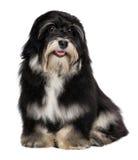 美丽的微笑的havanese小狗 库存图片