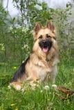 美丽的德国牧羊犬以绿色 库存照片