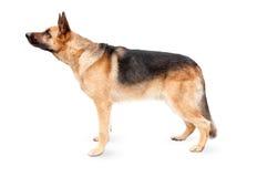 美丽的德国牧羊犬 库存图片