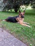 美丽的德国牧羊犬 免版税图库摄影