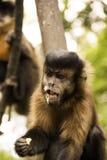 美丽的恶魔猴子 库存照片