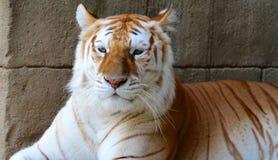 美丽的成人老虎 免版税库存照片