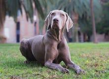 美丽的成年男性Weimaraner狗 库存照片