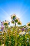 美丽的戴西在t光芒的一个绿色农村草甸  库存图片