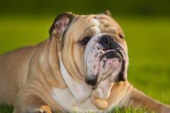 美丽的户外狗英国牛头犬 库存照片
