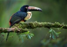 美丽的抓住衣领口的aracari 免版税图库摄影