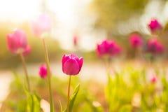 美丽的抽象自然郁金香和被弄脏的bokeh背景 免版税库存照片