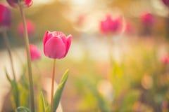 美丽的抽象自然郁金香和被弄脏的bokeh背景 库存图片