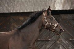 美丽的拉脱维亚品种黑色马画象 免版税库存图片