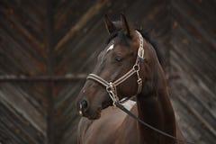 美丽的拉脱维亚品种黑色马画象 免版税库存照片