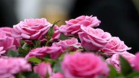 美丽的接近的桃红色玫瑰 股票录像