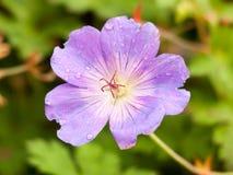 美丽的接近的桃红色紫色野生大竺葵庭院 免版税库存图片