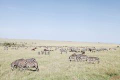 美丽的斑马和角马在马塞人玛拉国家公园,肯尼亚 免版税库存图片