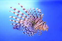美丽的斑马鱼或镶边蓑鱼在水族馆 库存图片