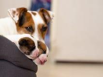 美丽的新出生的起重器罗素狗小狗,在一张柔软的床上甜甜地睡觉 与狗母狗和小深度o的Blured背景 图库摄影