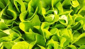 美丽的新鲜的叶子沙拉在家绿化ga的庭院里 免版税图库摄影