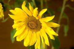 美丽的新鲜的向日葵,选择聚焦 库存照片
