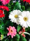 美丽的新鲜的多彩多姿的大丁草 背景细部图花卉向量 免版税库存图片