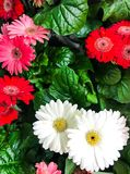 美丽的新鲜的多彩多姿的大丁草 背景细部图花卉向量 免版税图库摄影