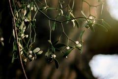 美丽的新鲜的槲寄生用在绿色背景的白色莓果 库存照片