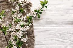 美丽的新鲜的樱桃分支与在土气很好的白花 库存图片