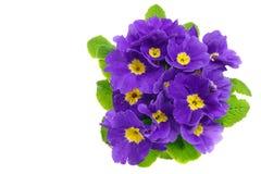 美丽的新鲜的蓝色樱草属花 免版税图库摄影