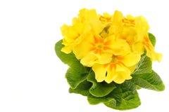 美丽的新鲜的黄色樱草属花 图库摄影