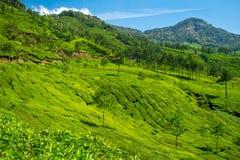 美丽的新鲜的绿茶种植园在Munnar,印度 库存照片