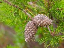 美丽的新水多的杉树 库存图片