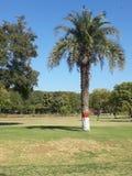美丽的日期树n claean天空 免版税库存照片