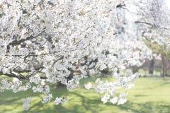 美丽的日本樱桃树在一个晴天开花 免版税库存照片