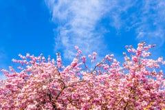 美丽的日本樱桃树开花在5月 免版税库存图片