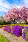 美丽的日本樱桃树开花 库存图片