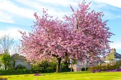 美丽的日本樱桃树开花 库存照片