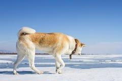 美丽的日本狗秋田Inu在贝加尔湖雪和冰在一个山区来临在冬天 库存照片