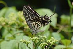 美丽的日本蝴蝶 免版税图库摄影