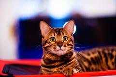 美丽的时髦的孟加拉猫 动物画象 库存照片