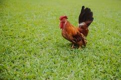 美丽的明亮的五颜六色的雄鸡 免版税图库摄影