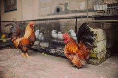 美丽的明亮的五颜六色的雄鸡 库存照片