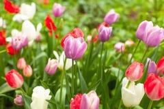 美丽的明亮的多彩多姿的郁金香在花圃里在公园或庭院在雨以后 雨小滴在花闪耀 逗人喜爱的墙纸 库存图片
