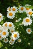 美丽的明亮的新鲜的春黄菊花在庭院里 免版税图库摄影