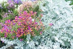 美丽的明亮的桃红色和黄色装饰植物背景的花和淡绿色的叶子 库存图片