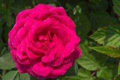 美丽的明亮的桃红色玫瑰花在庭院里增长 免版税库存照片