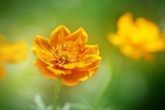 美丽的明亮的橙色花在森林里 免版税库存照片