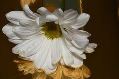 美丽的明亮的特写镜头宏观白色五颜六色的雏菊花 免版税图库摄影