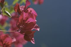 美丽的明亮的紫红色的桃红色九重葛 库存照片