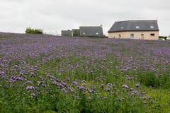 美丽的明亮的紫色花的整个领域 库存照片