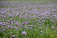 美丽的明亮的紫色花的整个领域 免版税库存图片